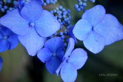 Absolutely Blue Hydrangea