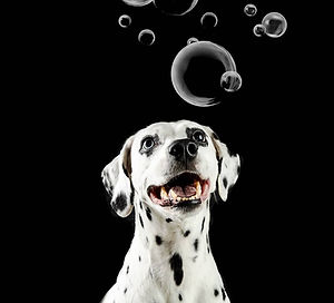 mascota-dalmata-perros-foto-juanitaripepifotografia