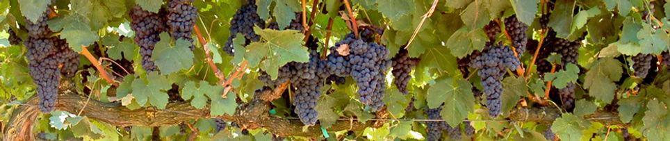 The Vine Series