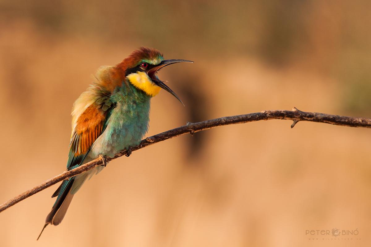 Včelárik zlatý / European bee-eater