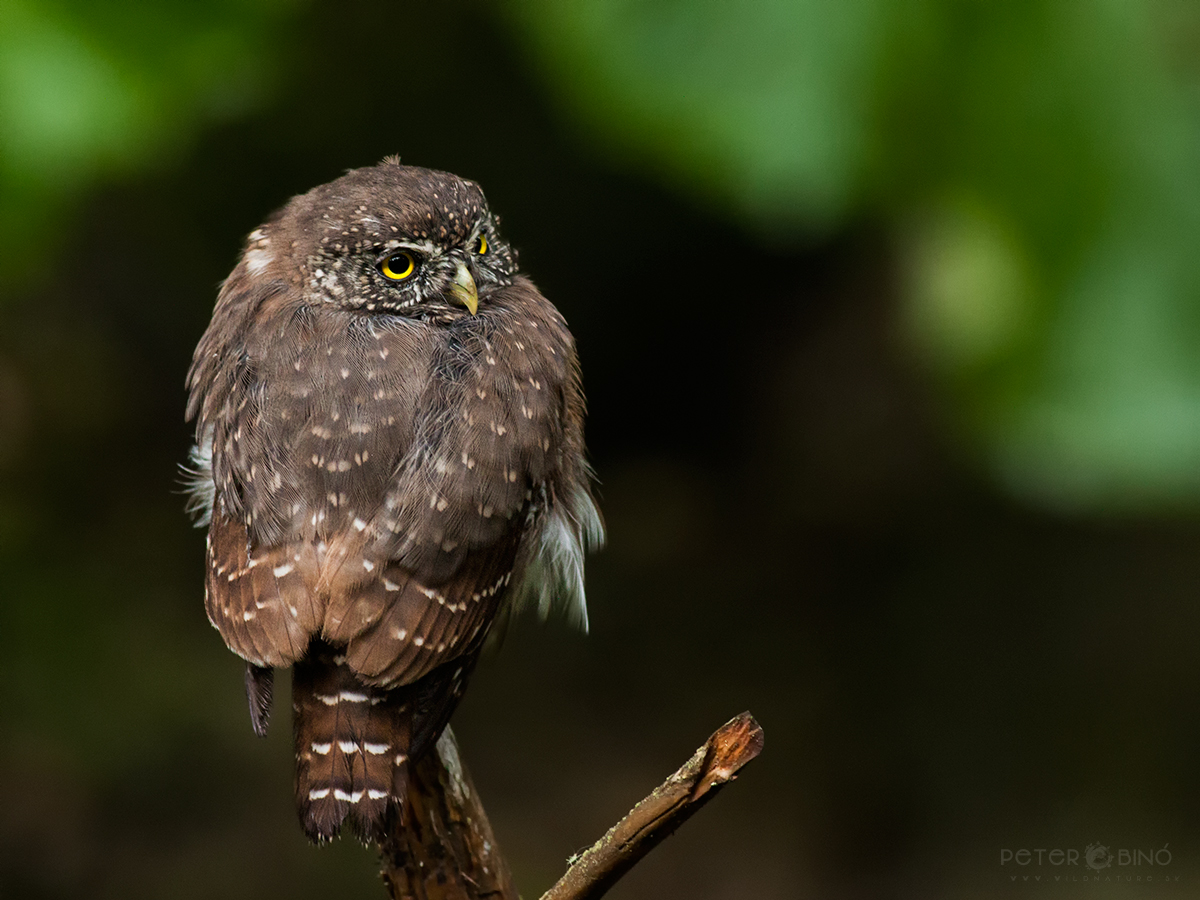 Kuvičok vrabčí / Eurasian pygmy owl