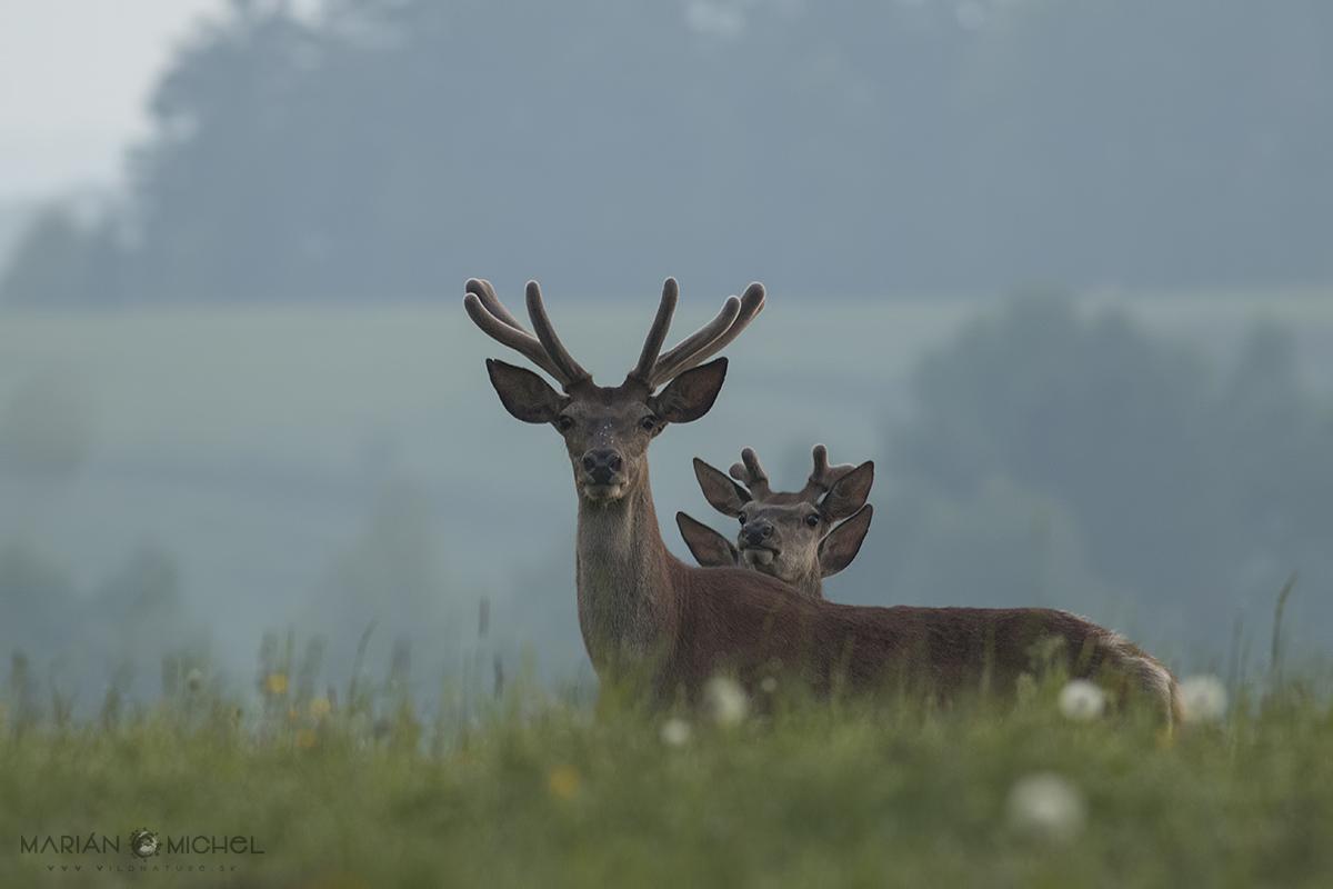 Jeleň lesný / Red deer