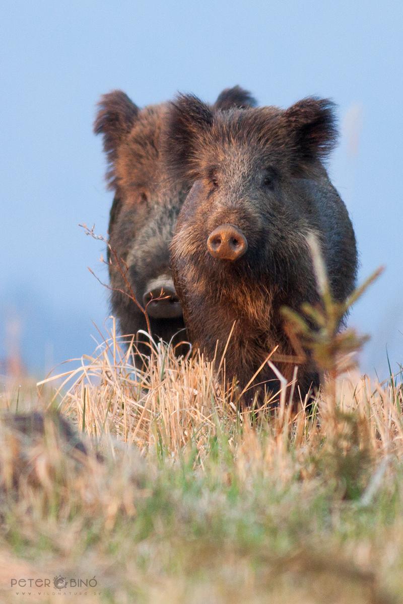 Diviak lesný / Wild boar