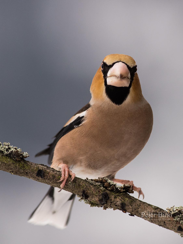 Glezg hrubozobý / Hawfinch