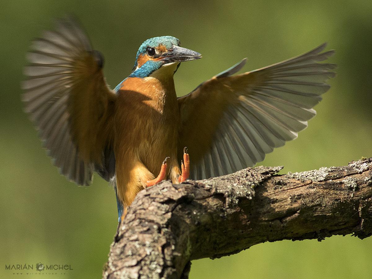 Rybárik riečny / Common kingfisher