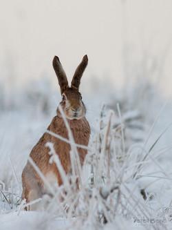Zajac poľný / European hare