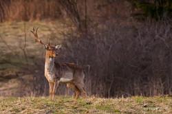 Daniel škvrnitý / Fallow deer