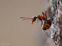 Mravec lesný / Red wood ant