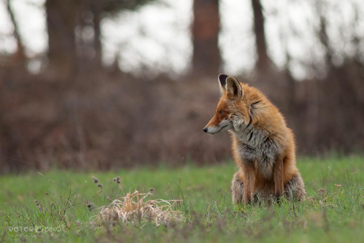 Líška hrdzavá / Red fox