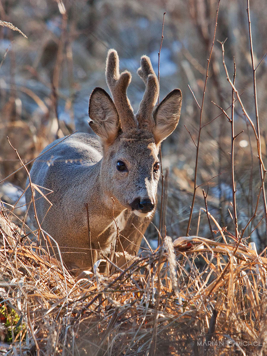 Srnec lesný / Roe deer