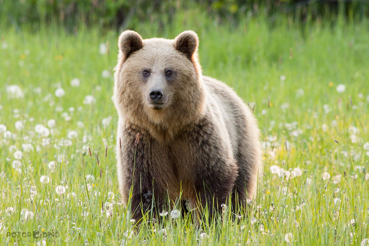 Medveď hnedý / Brown bear