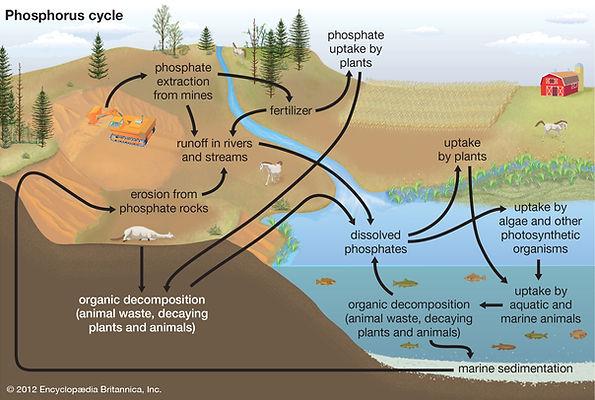 Phosphorus-environments-growth-plants-el