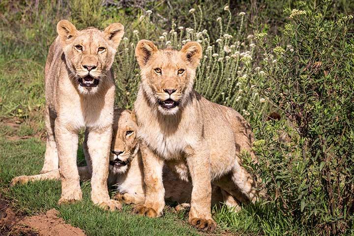 Lions Botlierskop
