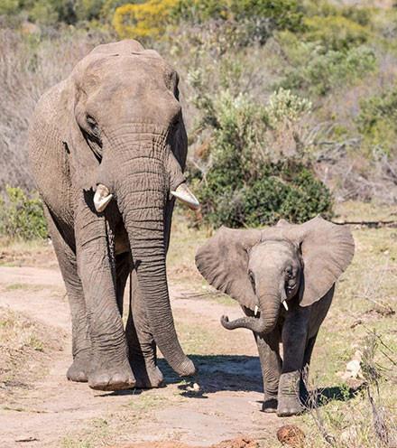 Botlierskop Baby Elephant