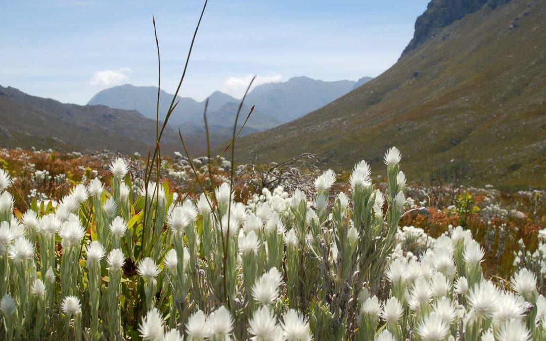 Fynbos in Stellenbosch