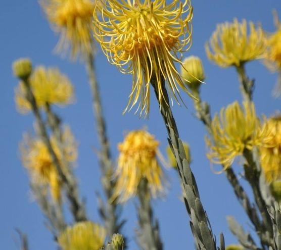 Fynbos in Stellenbosch Mountains