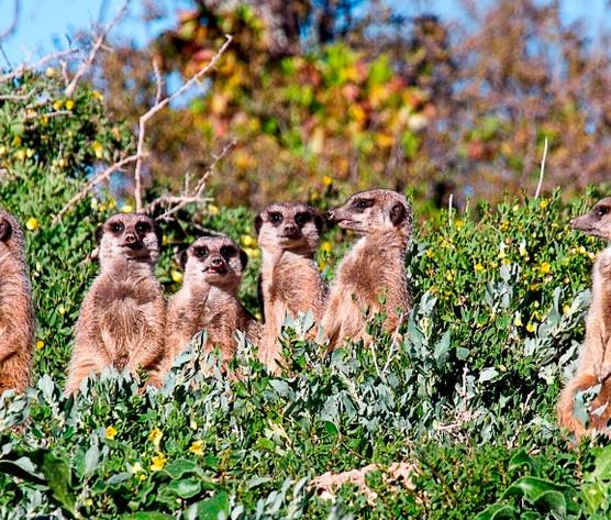 Meerkats at Buffelsdrift
