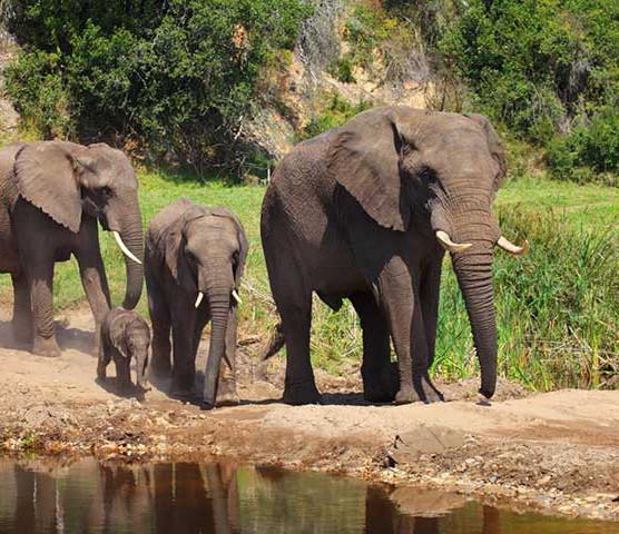 Botlierskop Elephants