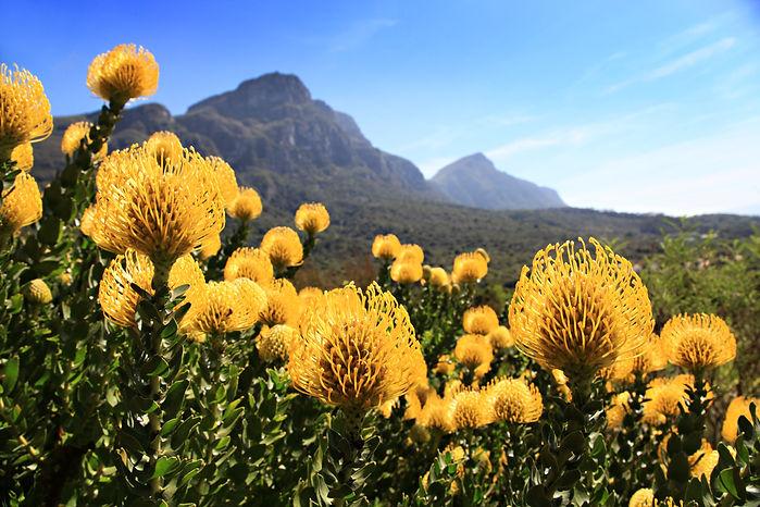 Pincushion Proteas in Kirstenboch Botani
