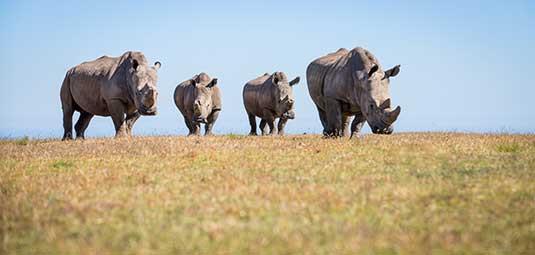 Botlierskop Rhinos