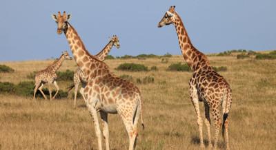 Botlierskop Giraffes