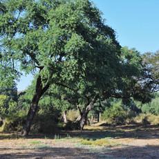 munga woodland, or Acacia parkland, in m