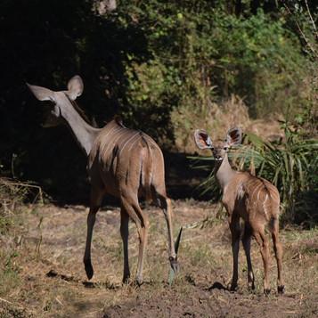 Kudu female and her calf
