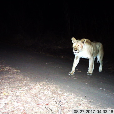 Lioness at camp