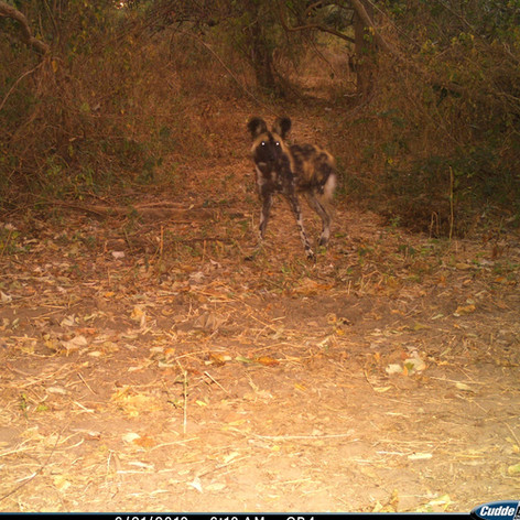 Wild dog near Chilumba anti-poaching cam