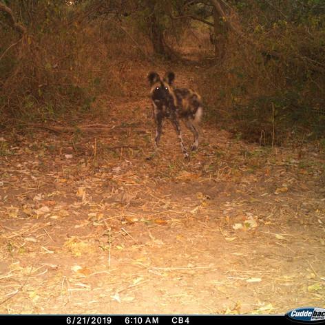 Wild dog near Chilumba anti-poaching cam