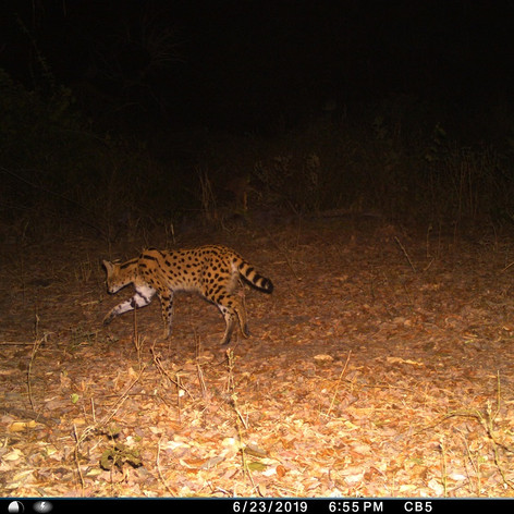 Serval on the move
