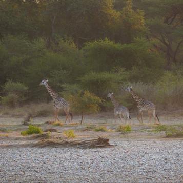 Thornicroft giraffe opposite camp