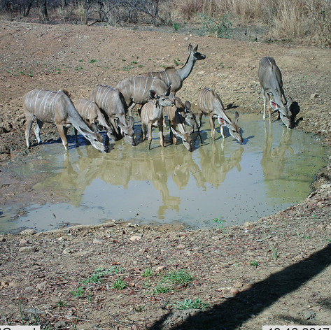 Herd of kudu females and young at mapish