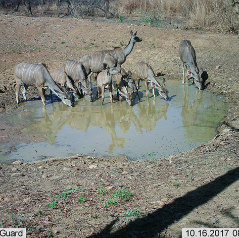 Herd of kudu females and young at mapish