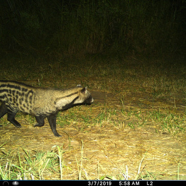 Civet! They raid our kitchen at night so