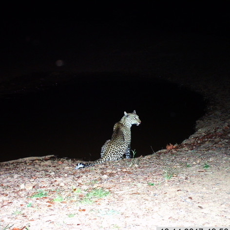 Posing leopard at mapishu waterhole