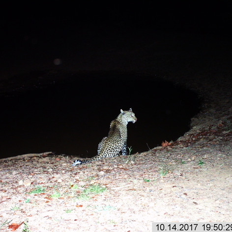 Posing leopard at mapishu waterhole