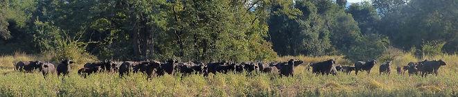 Buffalo herd at Munyamadzi