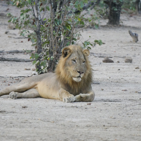 Lion relaxing in the sand