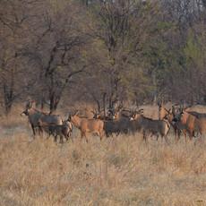 Breeding herd of roan antelope in grassl