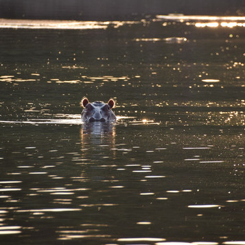 Golden hippo at Kanyansa Pool