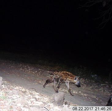 Handsome hyena