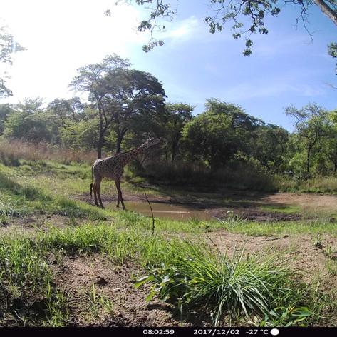 Lone giraffe drinking in the hills