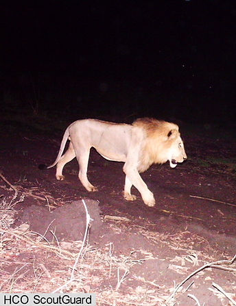 Volunteers help with processing of camera trap photographs