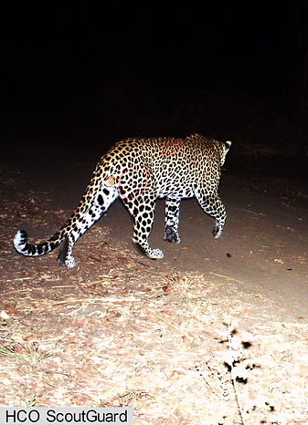 Volunteers assist with large carnivore identification