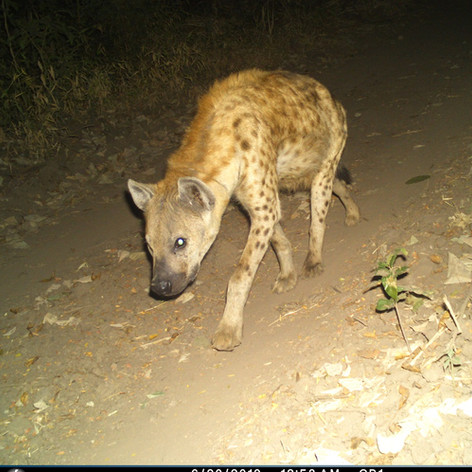 Beautiful hyena near Chitope lagoon