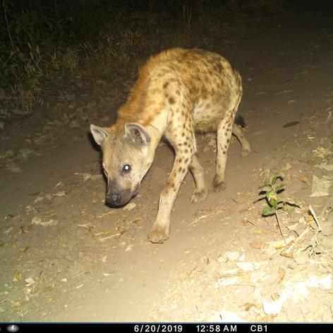 Beautiful hyena near Chitope lagoon
