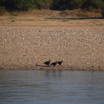 Southern ground hornbill foraging on the River bank