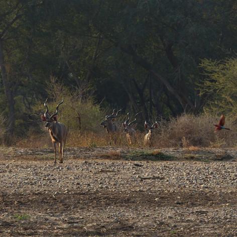 Kudu coming to drink