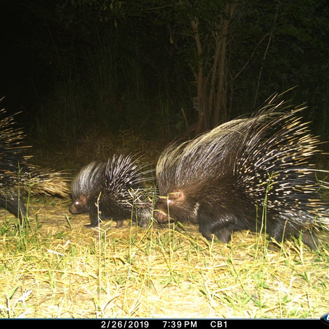 A prickle of porcupines. Yup, that's the
